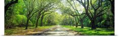 Poster Print Wall Art Print entitled Live Oaks and Spanish Moss Wormsloe State Historic Site Savannah GA, None