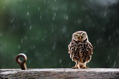 We love owls at our house and this burrowing owl is gorgeous! He is perfectly focus,there is beautiful bokeh behind and the rain is caught in motion. Love it.