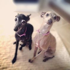 Adorable Italian Greyhounds