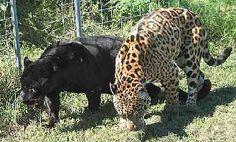 jaguar jaguar jaguar jaguar jaguar