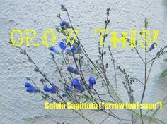 blue salvia SALVIA SAGITTATA  Arrow Leaf by TackledAndShackled, $5.95