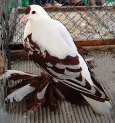 Tiger Swallowtail fancy pigeon -- what a beauty