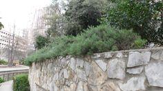 Rosemary bushes growing freely near the RiverCenter Mall