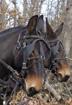 Team Of Mules...when I was a kid there was a man who worked his fields with a team of black mules. I would watch for hours...