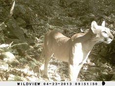 FOTO 5. Autor: Juan Felipe Charre Medellín Localidad: Coalcoman, Michoacán (México) Especie: Puma (Puma concolor) Título: El guardián de los bosques