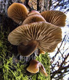 mushroom tree. Species??? (resemble Flammulina by the stem/gills...but not cap…