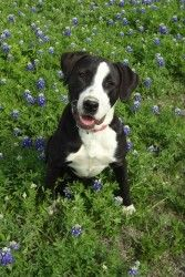 looks like my wonder puppy  My Minnie a Lab/Pit Mix and what a sweetie she is.  Markie's side kick too.