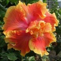 HibiscusSolarWind.jpg (200×199)