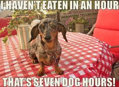 The struggle is real! #dachshund