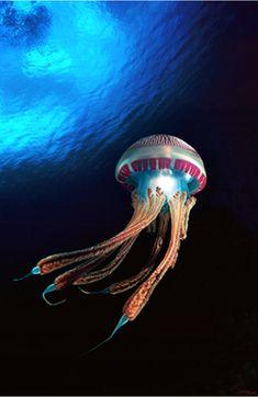 Sea ..jellyfish