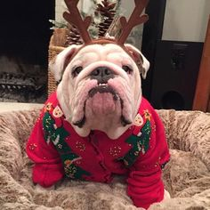 Rocking the antlers. | 25 Bulldogs Who Had A Better Ugly Sweater Party Than You Did