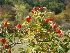 http://lesbrindherbes.org/2014/09/17/ces-plantes-soignent-leglantier-baie-cynorrhodon/