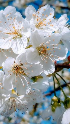 Tree With White Flowers – Many white flowering trees bloom before leaves occur on the branches, making the tree look pure white. It appears vibrant along roadsides and landscapes, Apricot Blossom, White Cherry Blossom, Cherry Blossom Flowers, Blossom Trees, Cherry Tree, White Flowers, Apricot Tree, Apple Blossoms, Apple Tree Flowers