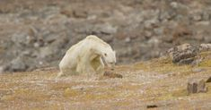 This is what climate change looks like. This starving polar bear was spotted by National Geographic photographer Paul Nicklen while on an expedition in the B. Polar Bear Video, Polar Bear Images, Polar Bears, Photo Choc, National Geographic Photographers, Sea Ice, Climate Change Effects, Global Warming, Conservation