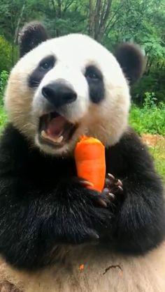 Você pegou a cenoura do burgdog do menino🤔 você que falou que era bom prós olhos e pra pele🤔😌 Baby Animals Super Cute, Cute Little Animals, Cute Funny Animals, Panda Funny, Cute Panda, Baby Animals Pictures, Cute Animal Pictures, Fluffy Animals, Animals And Pets