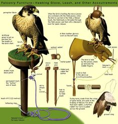 Falconry is the hunting of wild quarry in its natural state and habitat by means of a trained bird of prey.