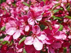 Prairiefire Crabapple - Malus sp. 'Prairiefire' - PNW Plants
