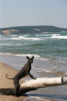 Xoloitzcuintli, Mexican Hairless Dog.