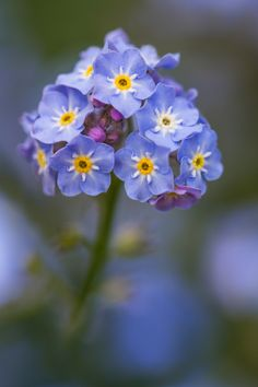 Forget me not - Photography by Mandy Disher on 500px.com