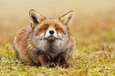 Photo de renard seblant sourire