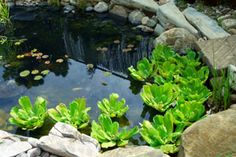 I have a pond that measures about 30' across and is about 5' deep in the very center, and I want to keep algae from forming without having to treat the water with chemicals, or clutter the pond with plants to block out the sunlight.