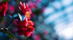 Red flores flor, azul fundo desfocado Papéis de Parede - 1920x1080 Full HD