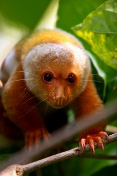 HI! Never seen you before!!  Cuscus on Ahe Island by Matti Ovaska        The cuscus is a large marsupial native to the Northern forest of Australia and the large, tropical island of Papua New Guinea. The cuscus is a subspecies of possum with the cuscus being the largest of the world's possum species.
