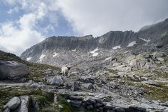 Alpine Sheep (Valais Blacknose)