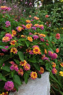 Lantana- Someone once said this plant laughs at heat and snickers at drought. Tough and beautiful.