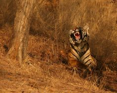 my first wild tiger by naturenev, via Flickr