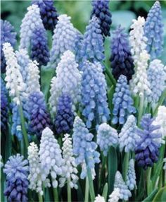 plant these in fall: yes, they are muscari,  or grape hyacinth.