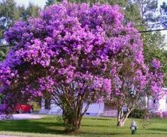 Purple Crepe Myrtle(Lagerstroemia indica 'Purpurea') is a very hardy and drought tolerant plant. The Purple Crepe Myrtle gets its name from the beauti Outdoor Gardens, Trees And Shrubs, Flowering Trees, Myrtle Tree, Landscape, Plants, Growing Tree, Planting Flowers, Beautiful Tree