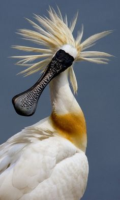 Blackface Spoonbill. During the breeding season, mature adults develop longer crest feathers at the back of the neck, & these and the breast area become a golden yellow. Adult black-faced spoonbills have red eyes and yellow patches on their cheeks.