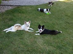 Fluff comes back for a visit. Small Puppies, Small Dogs, Icelandic Sheepdog, Cutest Dogs, Small Dog Breeds, Corgi, Animals, Little Dogs, Corgis