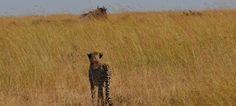 20/6/2016 Big 5 Safari Duration: 8 days Highlights: Nairobi, Samburu, Maasai Mara A safari through the savagely beautiful Samburu National Reserve and the world renowned Maasai Mara National Reserve.