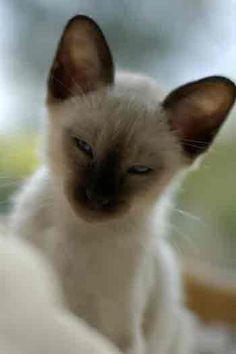 Siamese kitten looks like he is bundle of clever mischief.