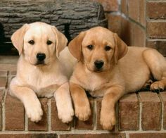 yellow labrador retrievers