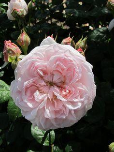 David Austin Eglantyne rose