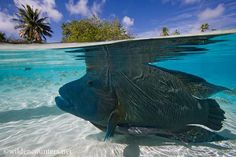 Napoleon Wrasse swimming in the shallows with attendant Slender Suckerfish (over,under-shot),Tahiti