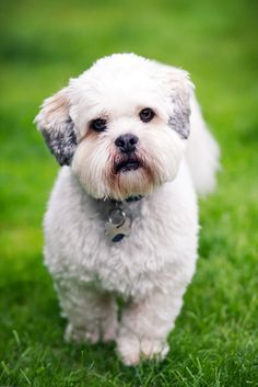 The Lhasa Apso is a Tibetan dog thought to be good luck