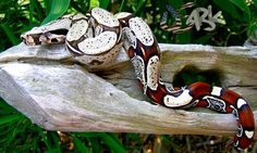 Columbian Redtail boa All Gods Creatures, Cute Creatures, Beautiful Creatures, Red Tail Boa, Cool Snakes, Largest Snake, Boa Constrictor, Super Snake, Beautiful Snakes