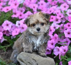 Morkie puppies: Lancaster Puppies has morkie puppies for sale. The Morkie dog is a playful, designer breed. Get a morkie puppy here. Morkie Puppies For Sale, Lancaster Puppies, Animals Dog, Mans Best Friend, Puppy Love, Teddy Bear, Play, Adventure, Children