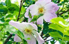 """Rosa """"Ristinummi"""" Tarhapimpinellaruusu  Ruusulajikkeiden kirjo on värikäs - Kotiliesi"""