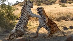 Most amazing Wild Animal Attacks compilation - tiger vs tiger real fight...