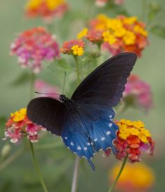 Pipevine Swallowtail #butterfly Use the Lantana flower background with a different butterfly for a painting