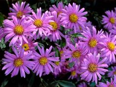 Asters always provide brilliant color, but for a show year after year, grow perennial species. The New York Michaelmas daisy has the brightest colors, while this Aster amellus is compact and floriferous. Both grow well in pots. Aster Flower, Autumn Garden, Plants, Garden Pictures, Perennials, Purple Flowers Garden, Day Lilies, Annual Flowers, Hgtv Garden