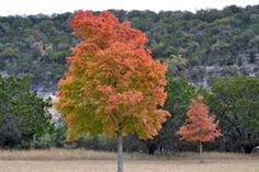 Lost Maples - Texas Hill Country - Fall foliage picture by Richard Treece, on November 19, 2012.