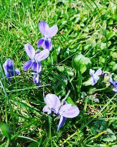 So lecker im Essig so schön anzusehen aber im Rasen haben Veilchen wirklich nichts verloren  #Gartenträume #Garten #veilchen #Blume #blumenzauber