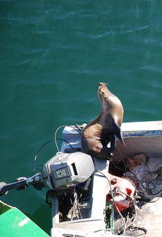 Seal entertains in Monterey Bay, CA Zippertravel.com Digital Edition
