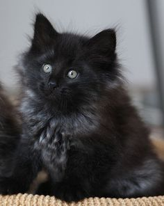 Hello handsome!!! Did you know... Black cats are often the least favoured choice among people looking to adopt a new kitten or older cat....     In fact, some shelters are now refusing to take them since they are so hard to adopt.      So why are black cats out of favour?
